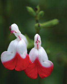 Hot Lips Salvia (Sal-vee-ah), also commonly known as sage, is an easy-care, drought-tolerant plant with fragrant foliage whose flowers are often visited by butterflies and hummingbirds