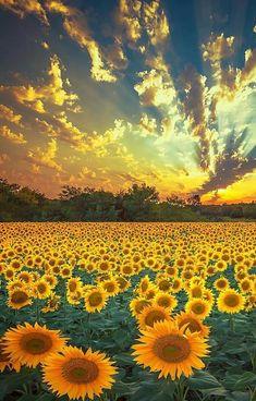 Sunflower season in Ukraine from Sunflower Season, Sunflower Fields, Field Of Sunflowers, Nature Photography, Travel Photography, Photography Training, Spring Photography, Nikon Photography, Destination Voyage