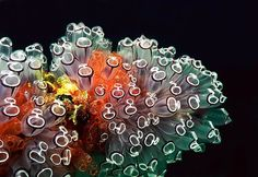 Tunicate, also known as urochordata, tunicata (and by the common names of urochordates, sea squirts, and sea pork[1]) is a subphylum of a group of underwater saclike filter feeders with incurrent and excurrent siphons, that are members of the phylum Chordata. Most tunicates feed by filtering sea water through pharyngeal slits, but some are sub-marine predators such as the Megalodicopia hians. Like other chordates, tunicates have a notochord during their early development, but lack…