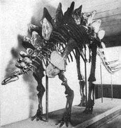 Stegosaurus ungulatus en 1910 au Museum Peabody de l'Université de Yale.