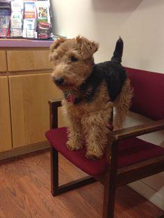 Sam, Welsh Terrier