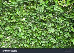 Creeper Plant( Climbing Fig, Creeping Fig, Creeping Rubber Fig ...