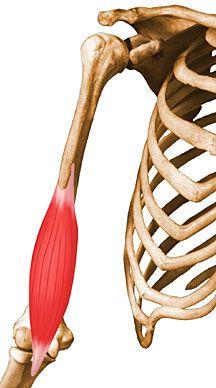 Braquial Anterior: Flexión de codo con antebrazo en pronacion