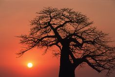 An impressive Baobab at sunrise, remember the Baobab Hotel up on a hill in Hwange (Wankie) town