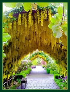 Laburnum arch, underplanted with purple allium ~ Bayview Farm and Garden, Whidbey Island, Washington