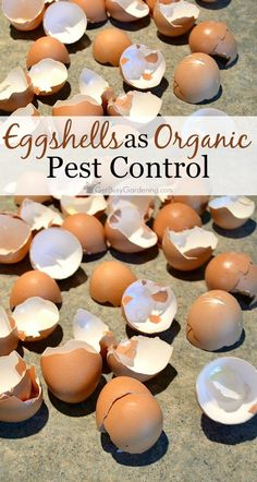 Crushed eggshells get under the hard shells of beetles, and acts like bits of glass to cut them up and kill them. You can't beat free organic pest control.