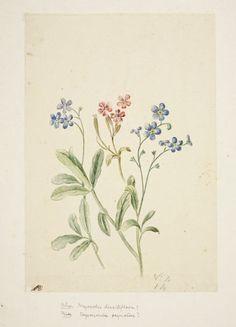 9 flower studies ~ by Mattheus C. Van Royen (© Fitzwilliam Museum)