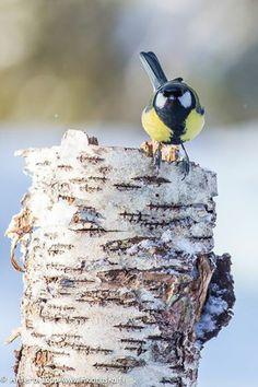 By Antero Topp Parus Major, Great Tit, Little Birdie, Birds 2, Happy Things, Colorful Birds, Beautiful Birds, Finland, Butterflies