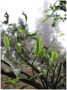 Puerh Tea Leaf.