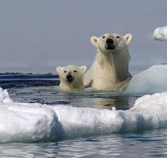 There's got to be frozen land somewhere out there! #polarbears Visit our page here: http://what-do-animals-eat.com/polar-bears/