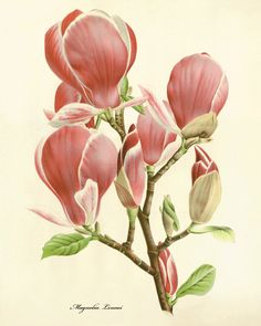Magnolia antique Botanical Art Prints