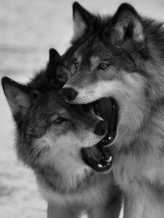 Lobo cinza.