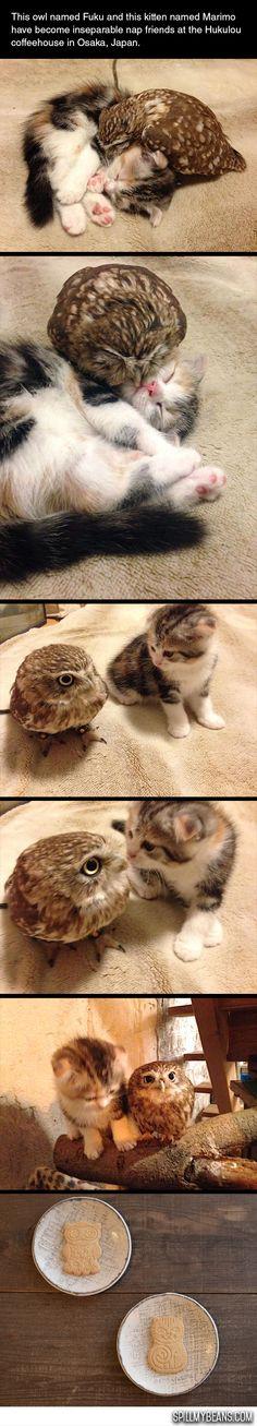 cool-owl-cat-love-friends-Japan