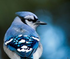 blue jay-- i love winter birds... is there a way to release a bunch of chickadees and blue jays like some people release butterflies or doves????