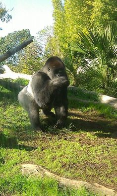 San Diego Zoo Silverback gorilla, largest family of gorillas in any zoo