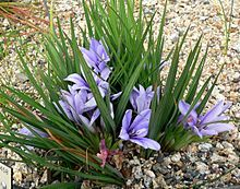 Babiana sambucina.  Order:Asparagales Family:Iridaceae Subfamily:Ixioideae Tribe:Ixieae Genus:Babiana