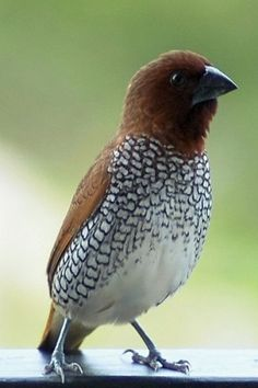 The Scaly-breasted Munia or Spotted Munia (Lonchura punctulata), known in the pet trade as Nutmeg Mannikin or Spice Finch, is a sparrow-sized estrildid finch native to tropical Asia.
