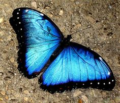 Blue Butterfly    Blue Morpho Butterfly   Flickr - Photo Sharing!