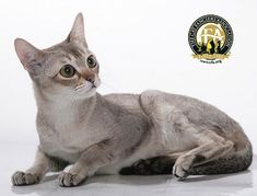 """Breed Profile: The Singapura The Singapura's disposition is that of a """"pesky people cat,"""" an extroverted, curious, playful but nondestructive cat that insists on helping you with everything. They are very intelligent and interactive with people and remain so even into old age."""