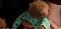 Sloth in Pyjamas