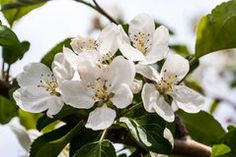 Apple Tree Blossoms Stock Photography Apple Tree Blossoms, Photo Link, Professional Photography, Plants, Photos, Image, Pictures, Photographs, Flora