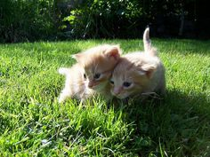 We are getting a ginger kitten. fact.