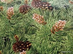 One Yard Cut of Quilting Fabric Different Kinds by DesignsByDona (Craft Supplies & Tools, Fabric, pinecones, pine cones, evergreens, Timeless Treasures, cotton fabric, supplies, Designs By Dona, allover pine cones, green, brown, evergreen tree, quilt fabric, one yard cut)