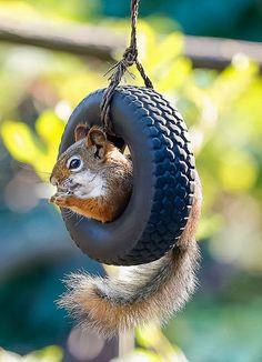 DIY Squirrel Tire Swing Feeder - because it's adorable.  petdiys.com