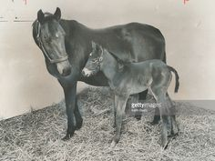 Her Daddy is secretariat. A proud mother; looks over a brand new filly born at Windfields Farm in Oshawa. The sire was 1973 U. The newcomer; Race Horses, Horse Racing, Canadian Horse, Run For The Roses, Cowboy Horse, Of Montreal, Horse Love, Thoroughbred, Kentucky Derby