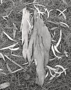Ecorce d'eucalyptus Isola di Vulcano 1998