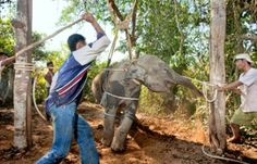 Thailand Tourism beating elephant into submission: inkspired musings: The Enormous Elephant alphabet time
