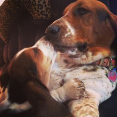 my two adorable Basset hound puppies