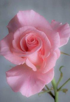 The Virgin Rose