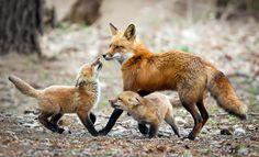 Red fox, upstate New York by Melissa Groo Wildlife Photography, Animal Photography, Cute Baby Animals, Animals And Pets, Wild Animals, Fox Totem, Fox Pictures, Fabulous Fox, Pet Fox