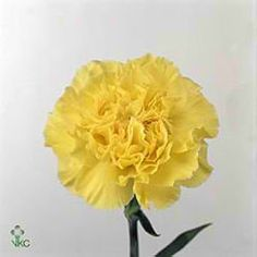 Buy wholesale cut Kiro Carnations for delivery to any UK address. Carnation Kiro are yellow, tall & ideal for bridal work & wedding flowers. No minimum order required - Floral accessories also available. Dianthus Flowers, Flowers Uk, Plastic Flowers, Pretty Flowers, Yellow Carnations, Yellow Flowers, Spring Wedding Bouquets, Wedding Flowers, Bridesmaid Bouquets