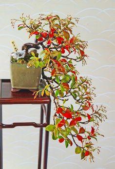Trachelospermum asiaticum, (TEIKA-KAZURA , Asian Star Jasmine )