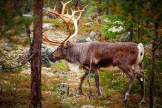 Clear-cuts could replace reindeer in some of Europe's last intact boreal forests.