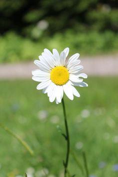 Daisy: Gentleness, Innocence, Loyal love.