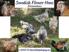 "The Swedish Flower Hen is considered a 'landrace' breed. A landrace breed is defined as ""a local variety of domesticated animal which has developed largely by natural processes, adaptating to the natural and cultural environment in which it lives. It differs from a formal breed which has been selectively bred to conform to a particular standard of traits."""
