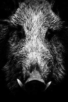 Photographie sanglier La Feuille Blanche Hog Dog, Natur Tattoos, Hunting Tattoos, Tier Fotos, Wildlife Art, Belle Photo, Black And White Photography, Animal Kingdom, Animals And Pets