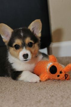 Hard to believe my Corgi was this little at one time