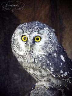 Włochatka / Boreal owl / Aegolius funereus