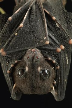 """the spotted-winged fruit bat (balionycteris maculata) is a species of pterpodidae inhabiting the rain forests and mangrove forests of brunei and malaysia. they are unusually small for their family— commonly called the """"megabats""""— at only 5-7cm in length. they are so named for the pale spots on their wings which occur mostly on the finger joints, but do appear on the wing membranes and body, including two spots in front of the eyes and on the ears"""