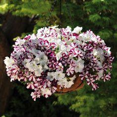 Best Flowers For Hanging Baskets | Buy Petunia Waterfall Plug Plants Online