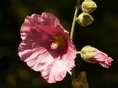 kerti mályvarózsa