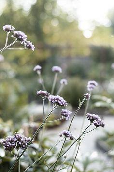 Garden Shrubs, Garden Plants, Beach Gardens, Outdoor Gardens, Violet Garden, Farmhouse Garden, Plants Are Friends, Felder, Colorful Garden