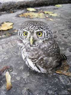 Eurasian Pygmy Owl in Helsinki