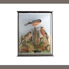 A Victorian cased taxidermy display of bullfinches.