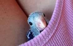 Female Dilute Blue Parrotlet Chick