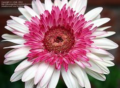 Full size picture of Gerbera Daisy Transvaal Daisy African Daisy Barberton Daisy Gerber Daisy Lollipop Watermelon Gerbera jamesonii Sunflowers And Daisies, Gerber Daisies, Blooming Flowers, All Nature, Flowers Nature, Calendula, Amazing Flowers, Beautiful Flowers, Gerbera Jamesonii